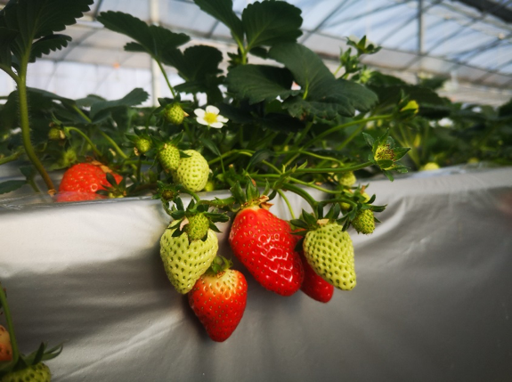 Strawberry breeding greenhouse at Jiangsu Academy of Agricultural Sciences (JAAS)
